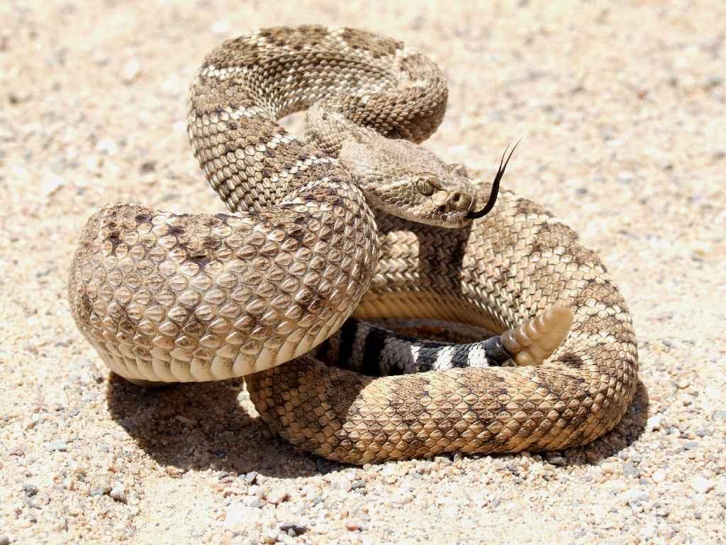 Puppy Saves Owner from Rattlesnake  Rattlesnake-real-estate